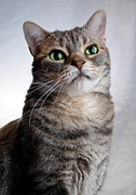 Pet Portrait Photos - American Shorthair Portrait by Amy Cicconi