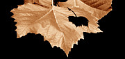 American Sycamore Prints - American Sycamore Leaf and Leaf Shadow Print by A Gurmankin