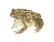 Illustration Painting Originals - American Toad by Cindy Hitchcock