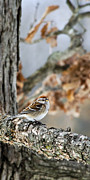 Perch Digital Art - American Tree Sparrow by Christina Rollo