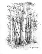 New Hampshire Drawings Posters - American White Birch Poster by Jim Hubbard