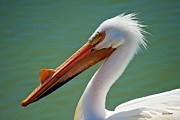 Stephen  Johnson - American White Pelican...