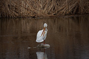 Ernie Echols Framed Prints - American White Pelican Framed Print by Ernie Echols