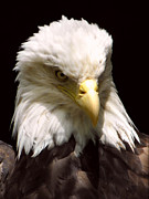 Patriot Photo Originals - AmericanBald Eagle by Tina Barrett