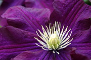 Kkphoto1 Posters - Amethyst Colored Clematis Poster by Kay Novy