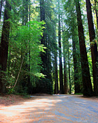 Avenue Of The Giants Prints - Amidst Giants Print by Heidi Smith