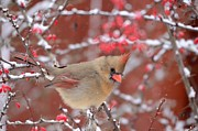 Cardinals. Wildlife. Nature. Photography Posters - Amidst Snow Covered Berries Poster by Marianne Kuzimski