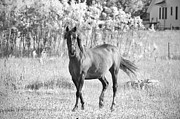 Amish Photos - Amish Horse Black and White by David Arment