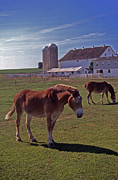 Amish Photography Posters - Amish Mule Poster by Skip Willits