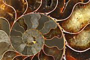 Texture Photo Metal Prints - Ammolite Metal Print by Elena Elisseeva
