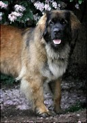 Leonberger Prints - Among flowers Print by Gun Legler