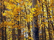 Amy McDaniel - Among the Aspen Trees in...