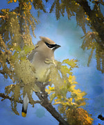 Cedar Waxwing Posters - Among the Catkins Poster by Betty LaRue