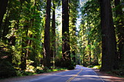 Avenue Of The Giants Prints - Among the Giants Print by Michelle Calkins