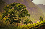 Sri Lanka Photos - Among the Mountains and Tea Plantations. Nuwara Eliya. Sri Lanka by Jenny Rainbow
