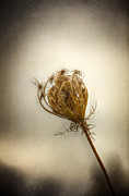 Queen Annes Lace Photos - Amongst the Living  by Margie Hurwich