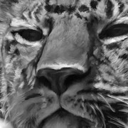 Leopards Digital Art Acrylic Prints - Amur Leopard Digital Freehand BW Painting Acrylic Print by Ernie Echols