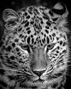 Chris Boulton - Amur Leopard in Black...