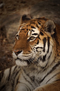 Photograph Of Cat Framed Prints - Amur Tiger 2 Framed Print by Ernie Echols