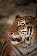 Amur Tiger 3 Print by Ernie Echols
