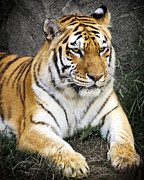 Cats Photo Metal Prints - Amur Tiger Metal Print by Adam Romanowicz