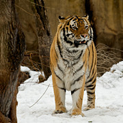 Siberian Tiger Photo Posters - Amur Tiger Alert Poster by Chris Brewington