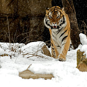 Siberian Tiger Photo Posters - Amur Tiger Approach Poster by Chris  Brewington Photography LLC