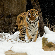 Siberian Tiger Photo Posters - Amur Tiger Poster by Chris Brewington