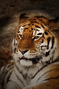 Cat Photographs Prints - Amur Tiger Print by Ernie Echols