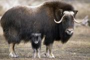 Alaska Wildlife Photos - An Adult Musk Ox And Calf Standing by Doug Lindstrand