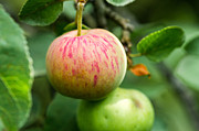 Apple Art Photo Prints - An Apple - Featured 3 Print by Alexander Senin