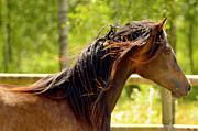 Stallion Photo Originals - An Arabian horse playing by Tommy Hammarsten