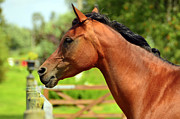 Stallion Photo Originals - An Arabian horse by Tommy Hammarsten