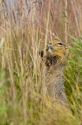 Johnson Photos - An Arctic Ground Squirrel Feasts by Carl Johnson