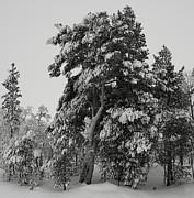 Pekka Sammallahti - An Arctic Pine