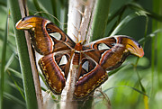 Atlas Photos - An Atlas Moth  by Saija  Lehtonen