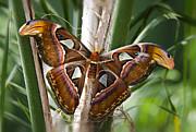 Saija  Lehtonen - An Atlas Moth