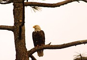Bald Eagles Posters - An Eagle Day Dreaming Poster by Jeff  Swan