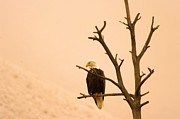 Bald Eagles Posters - An Eagle Gazes Poster by Jeff  Swan