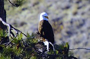 Pine Needles Framed Prints - An Eagle In The Sun Framed Print by Jeff  Swan