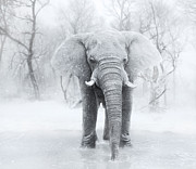 Lynn Jackson - An Elephants first snow