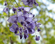 Uga Framed Prints - An Even Prettier Wisteria Framed Print by Cheryl Hardt