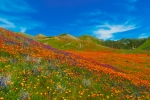 Ca Poppies Prints - An Ocean of Orange  Print by Lynn Bauer
