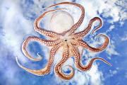 Featured Metal Prints - An Octopus With Blue Sky And Cloud Metal Print by Mike Raabe