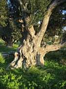 (olea Europaea) Photos - An Old Olive Tree by Tracey Harrington-Simpson