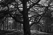 Pekka Sammallahti - An old pine