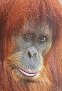 Orang-utans Posters - An Orangutan Observing You Poster by Margaret Saheed