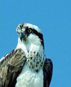 Living Things Prints - An Osprey Portrait Print by Jeff  Swan