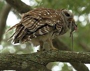 Adam Jewell - A Barred Owl And A Mouse