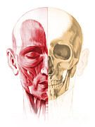 Zygomatic Bones Posters - Anatomy Of A Male Human Head, With Half Poster by Leonello Calvetti